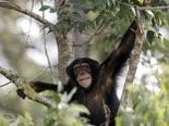 השימפנזים יוצאים לחופשי