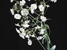 פרח הגיפסנית