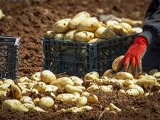 סכסוך על תפוחי אדמה [צילום: נאסר אישתייח, פלאש 90]