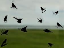 """ציפורים ב""""כאילו"""" [צילום: צ'רלי רידל/AP]"""