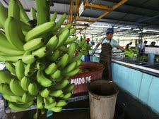 בננות במקסיקו. בקרוב מכסים? [צילום: מרקו אוגרטה, AP]