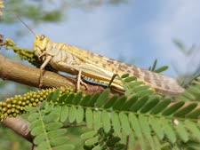 מזון עתיר חלבון לציפורים ונזק לחקלאות [צילום: עמיר בלבן]