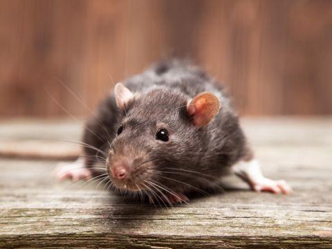 איך תופסים חולדות ועכברים